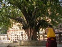 ラージャヤータナ樹
